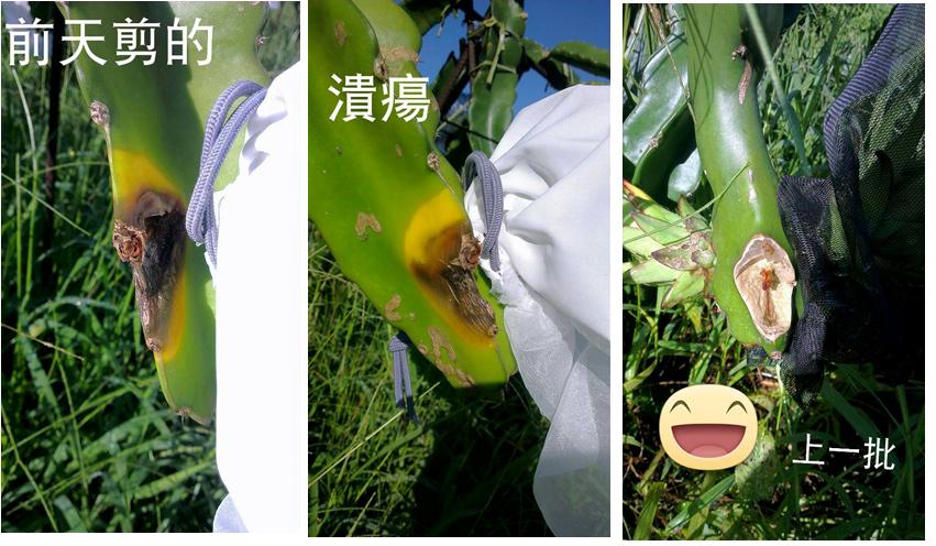 台湾酵素水的好(枝條留傷口)