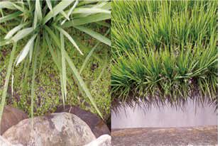 台湾 水稻