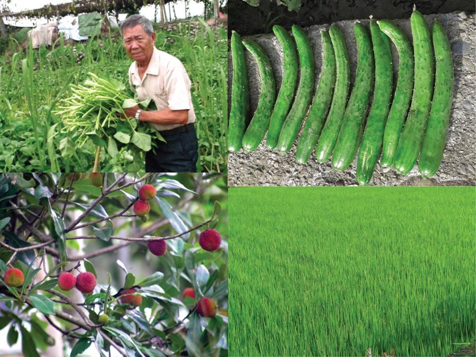 台湾 水稻2.png